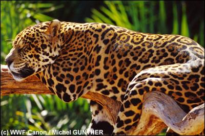 jaguar-WWF.jpg