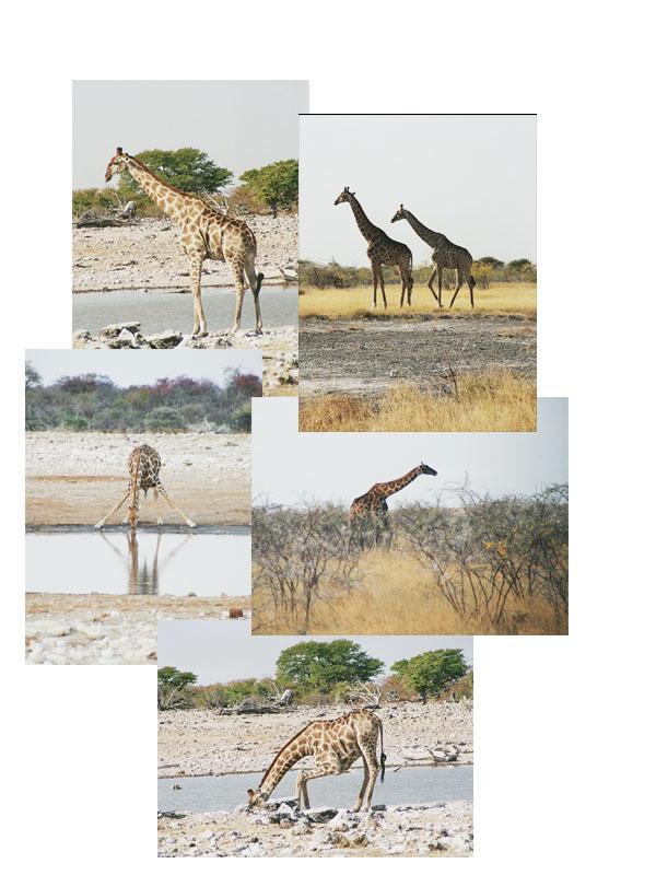 photo-014-girafe.jpg